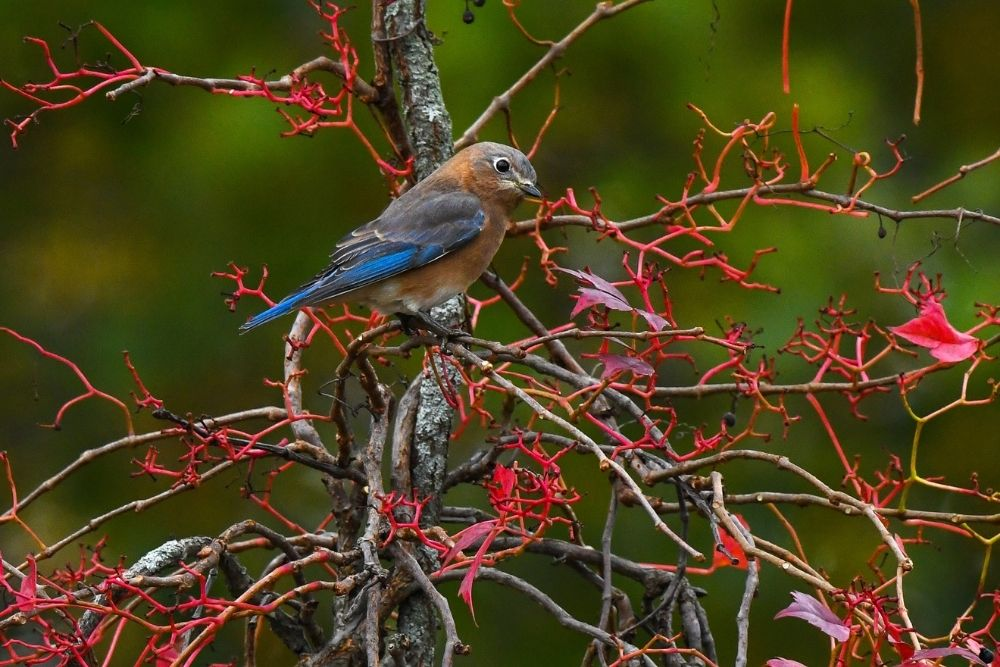 Bluebird on branch at Hilltop Farm East Acquisition
