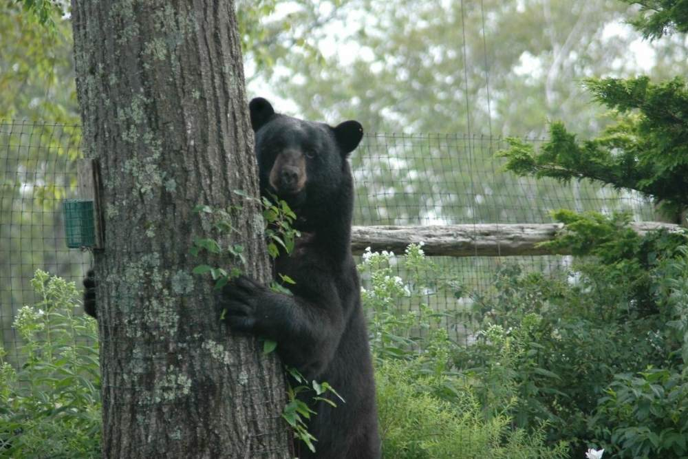Black bear peeking around a tree