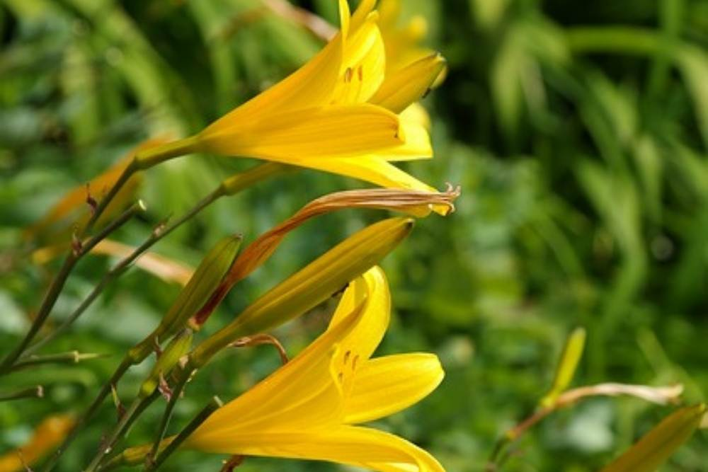 Yellow lily blossoms
